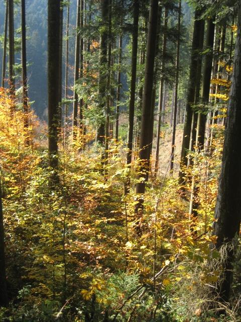Fichtenwald mit Verjüngung
